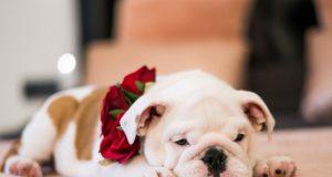 Candy Mountain Bulldog Whelping Services In Georgia